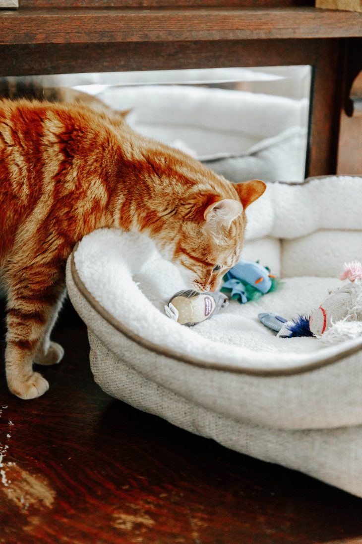 Cat sniffing cat toys in cat bed