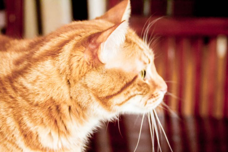 orange cat profile
