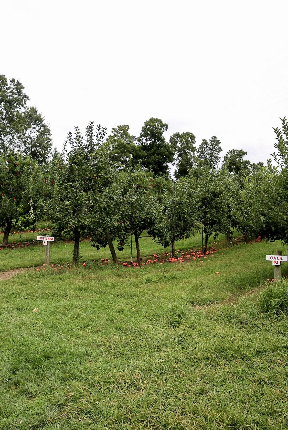 Apple Orchard Drazen Orchards Cheshire CT