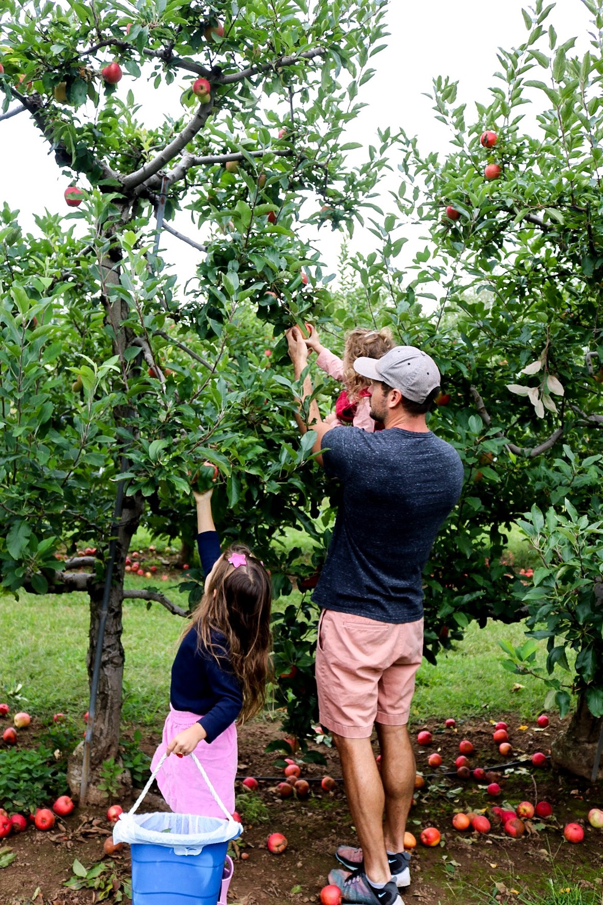 Dad helping daughters pick apples from tree